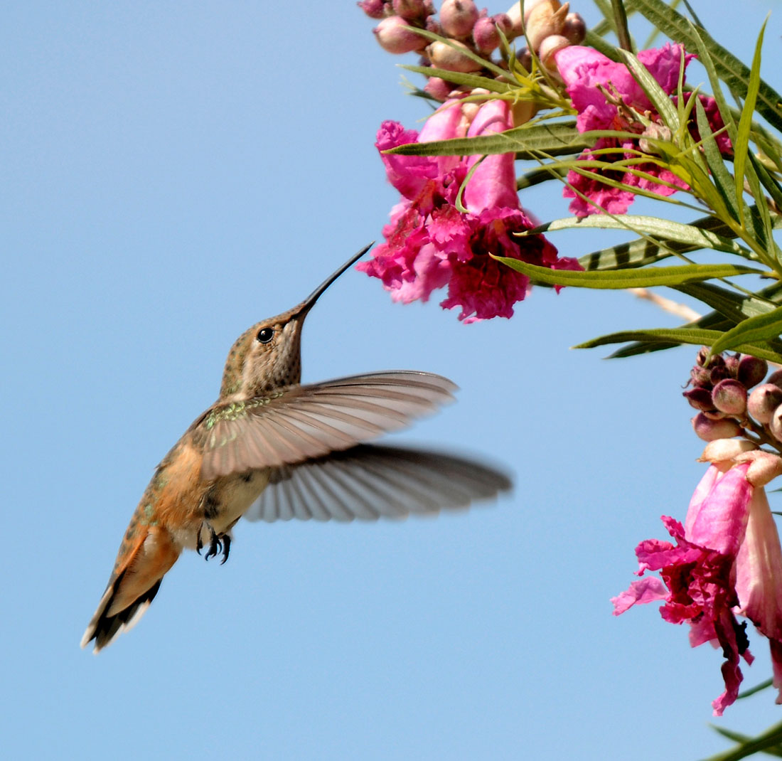 Which plants attract hummingbirds